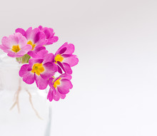 Pink Primroses In A Transparent Glass Vase On A White Background.Spring Concept,festive Background.Selective Focus