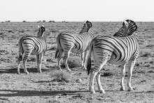 Three Zebra Turn And Face The ...