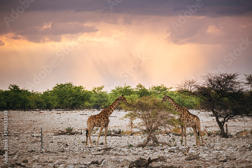Valokuvatapetti Two giraffes graze on the top leaves of a tree in Etosha National Park with stunning dramatic sunset light behind them, Namibia, Africa