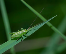 Green Cricket On The Grass On Blurred Background