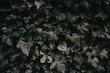 Efeu Hintergrund dunkel