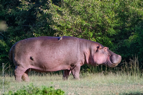 hippopotamus standing in the grass with Ox Peckers on it Canvas Print