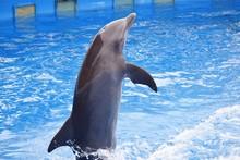 Dolphin Jumping In Pool At Aqu...