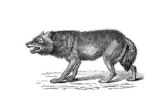 Illustration Of A Wolf In Popu...