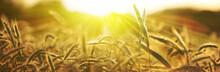 Getreide ähren Sonne Natur Ba...
