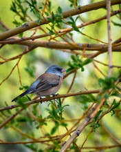 Dark-eyed Junco Perched On A Branch
