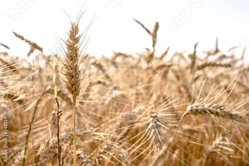 Ripe grain on the meadow. Harvest corn. Agricilture.