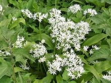 Allium Ursinum, Known As Wild ...