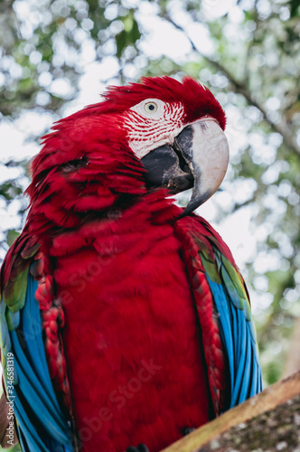 Photo Red scarlet macaw parrot portrait close up, papagayo details in Brazil pantanal