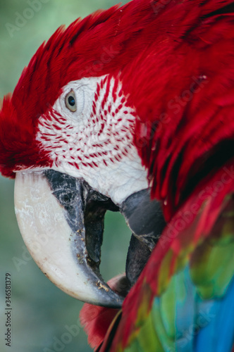 Red scarlet macaw parrot portrait close up, papagayo details in Brazil pantanal Wallpaper Mural