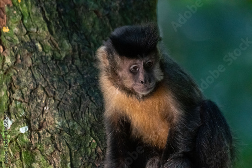 Fotografering Capuchin monkey in nature