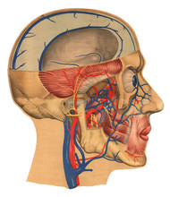 Human Head Slice Profile Side ...