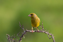 Greenfinch Perched Hawthorn Branch With Unfocused Background