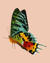 Madagascan Sunset Moth (Urania...