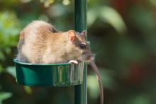 A Brown Rat Is Enjoying Seeds ...