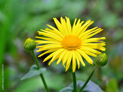 Fotografia Close-up of Doronicum orientale or leopard's bane with bright yellow flowers