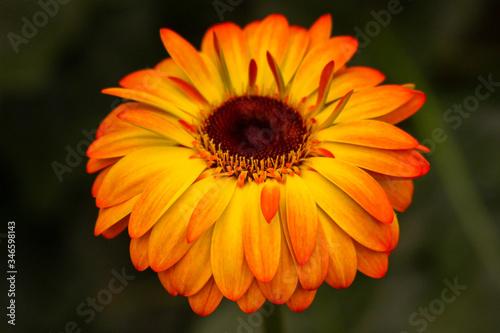 Gerbera jamesonii is a species of flowering plant in the genus Gerbera Canvas Print