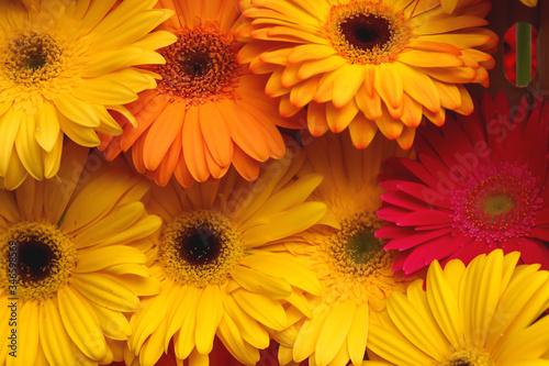 Photo Gerbera jamesonii is a species of flowering plant in the genus Gerbera