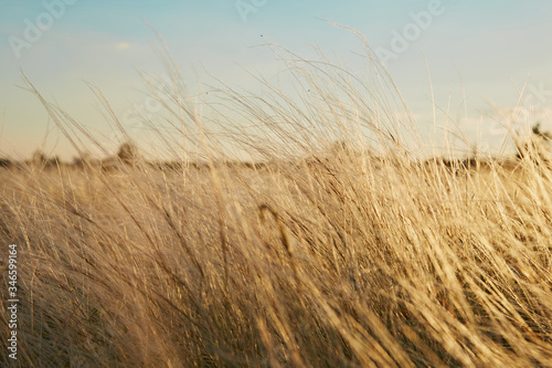 Αφίσα Yellow golden tussock grass of New Zealand in wind