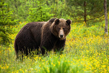 Attentive Brown Bear, Ursus Ar...