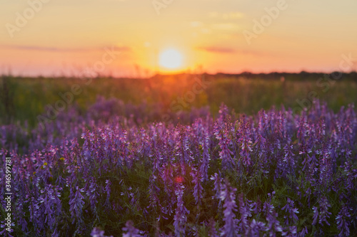 Fototapety, obrazy: Bush of purple lavender on the background of the rays of a warm sunset.
