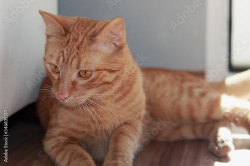 Fototapeta Kot, Maks, rudy kotek, portret na podłodze  obraz