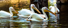 Pelicans Floating In The Water