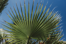 Large Round Palm Green Leaf, S...