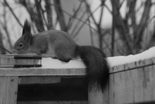 Close-up Of Squirrel On Snow C...