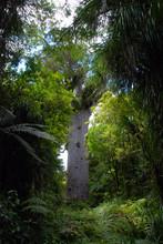 Mighty Kauri Tree On New Zealand North Island