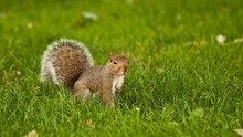 Squirrel Looking Away On Grass...