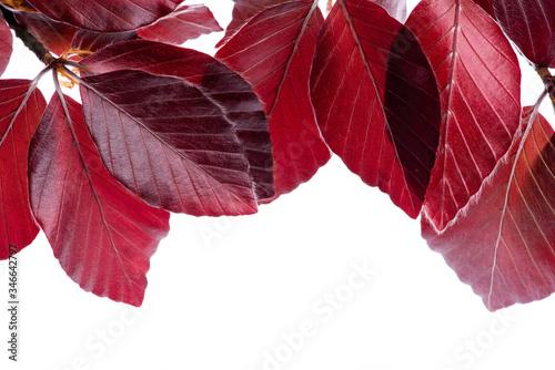 Canvastavla Foliage frame, close-up twig of copper beech tree isolated on white background i