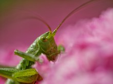Close-up Of Grasshopper On Pink Flower