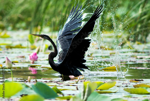 Photo Anhinga On Pond