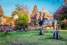 Shot Of Macaques And A Zebu Wa...