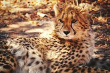Cheetah Looking Away In Forest