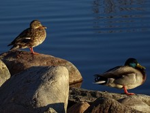 Close-up Of Two Ducks On Rock