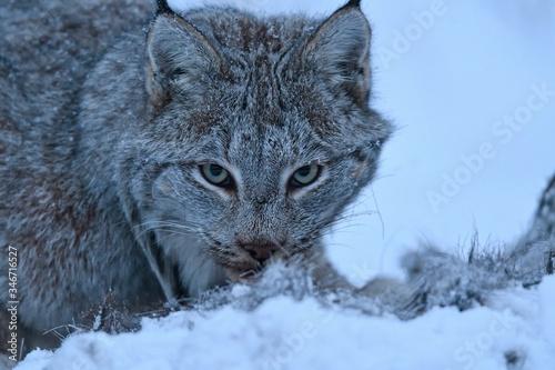 Canadian lynx  on gaurd Canvas Print