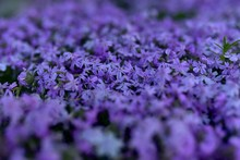 Close-up Of Purple Flowers In Field