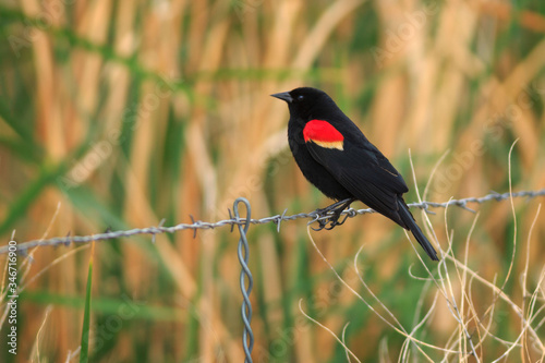 Photo Red-winged Blackbird Perching On Fence Outdoors