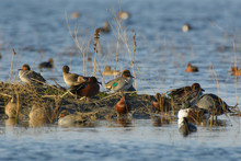 Cinnamon Teal And Green Winged...