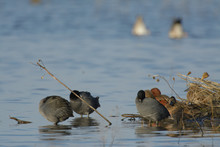 Cinnamon Teal Duck Surrounded By A Group Of American Coots.