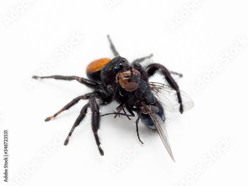 P1010055 male Johnson's jumping spider, Phiddipus johnsoni, Calliphora vicina bl Canvas Print