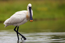 Eurasian Spoonbill Or Common S...