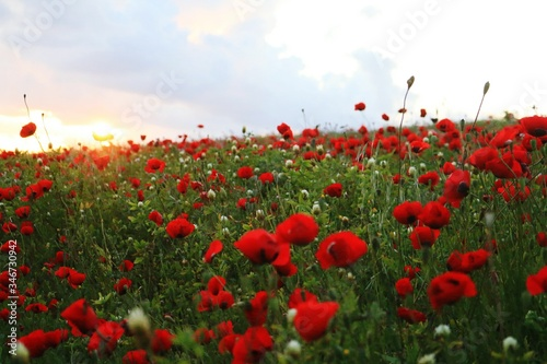 Fototapety, obrazy: Close-up Of Red Poppy Flowers In Field