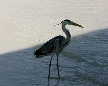 High Angle View Of Great Blue Heron Perching At Beach