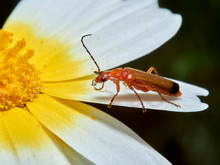 A Common Red Soldier Beetle On...