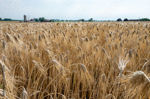 Field of Ripened Wheat Tablou Canvas
