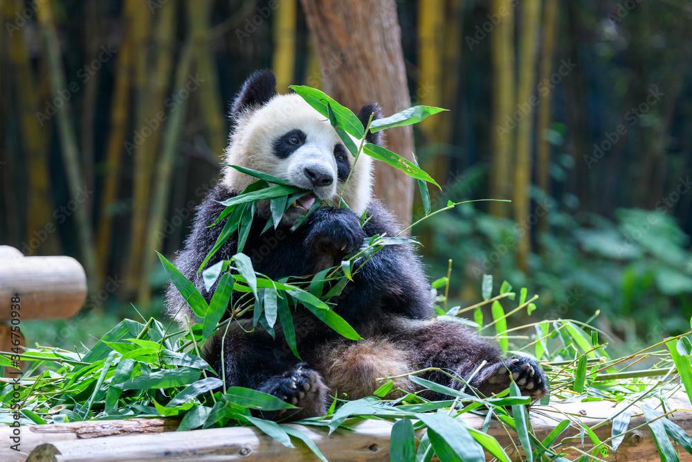 Cute panda sitting and eating bamboo