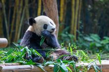 Cute Panda Sitting And Eating ...